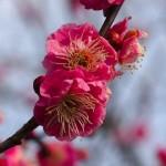 立春の頃、梅の花