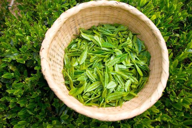 茶摘みと茶葉