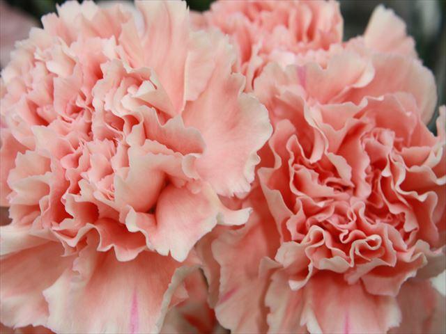 母の日の贈り物「カーネーション」ピンク