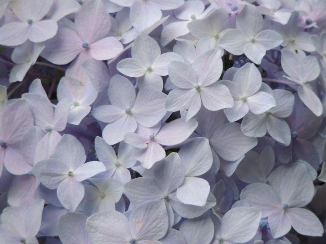 紫陽花(ブルー)
