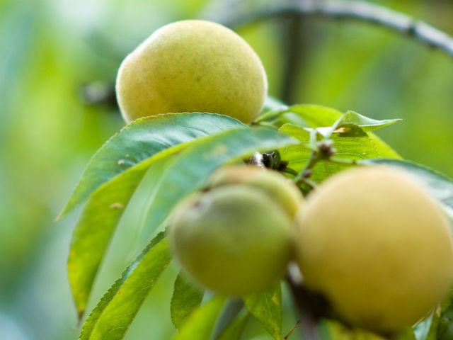 梅の実が黄色く熟している