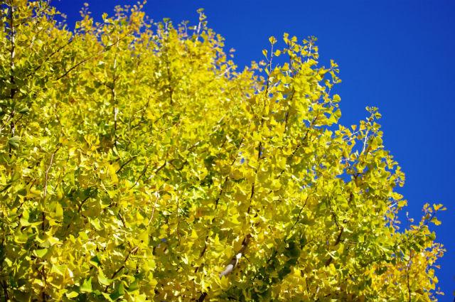 黄色く彩ったいちょうの木