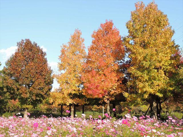 落葉樹、黄色・緑色・赤色に葉の色が変わる様子