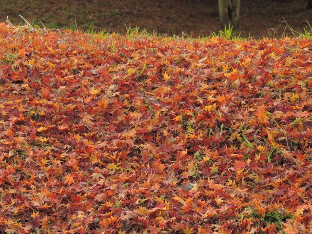紅葉、落ち葉の絨毯