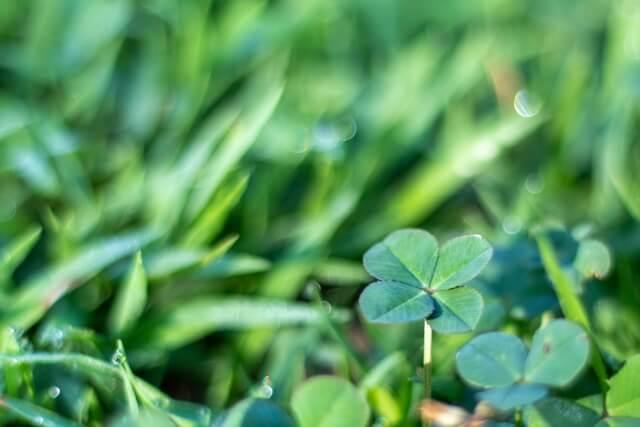 濃い緑色に育つ5月初旬のクローバー
